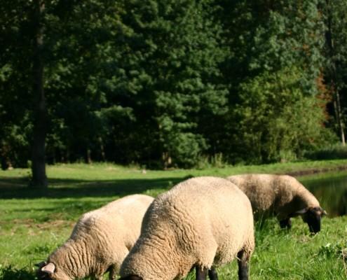 Schafe im Zinzower Schlosspark