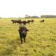 Wasserbüffel auf den Zinzower Moorwiesen